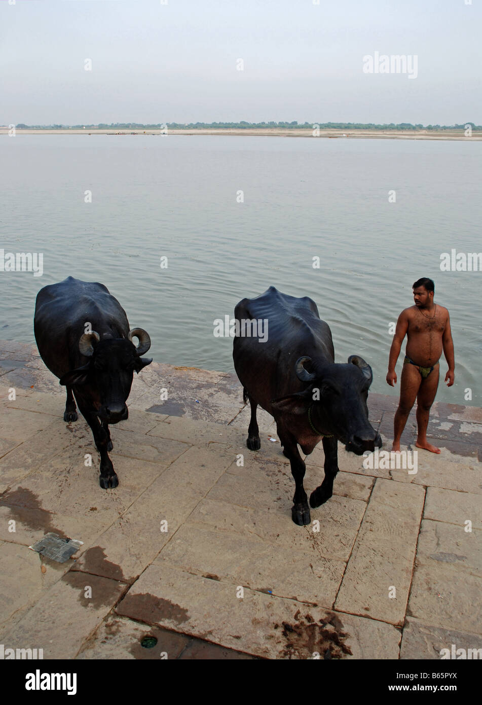 Water buffalos comming out of river Ganges and  man in his briefs watching. Varanasi, India. - Stock Image