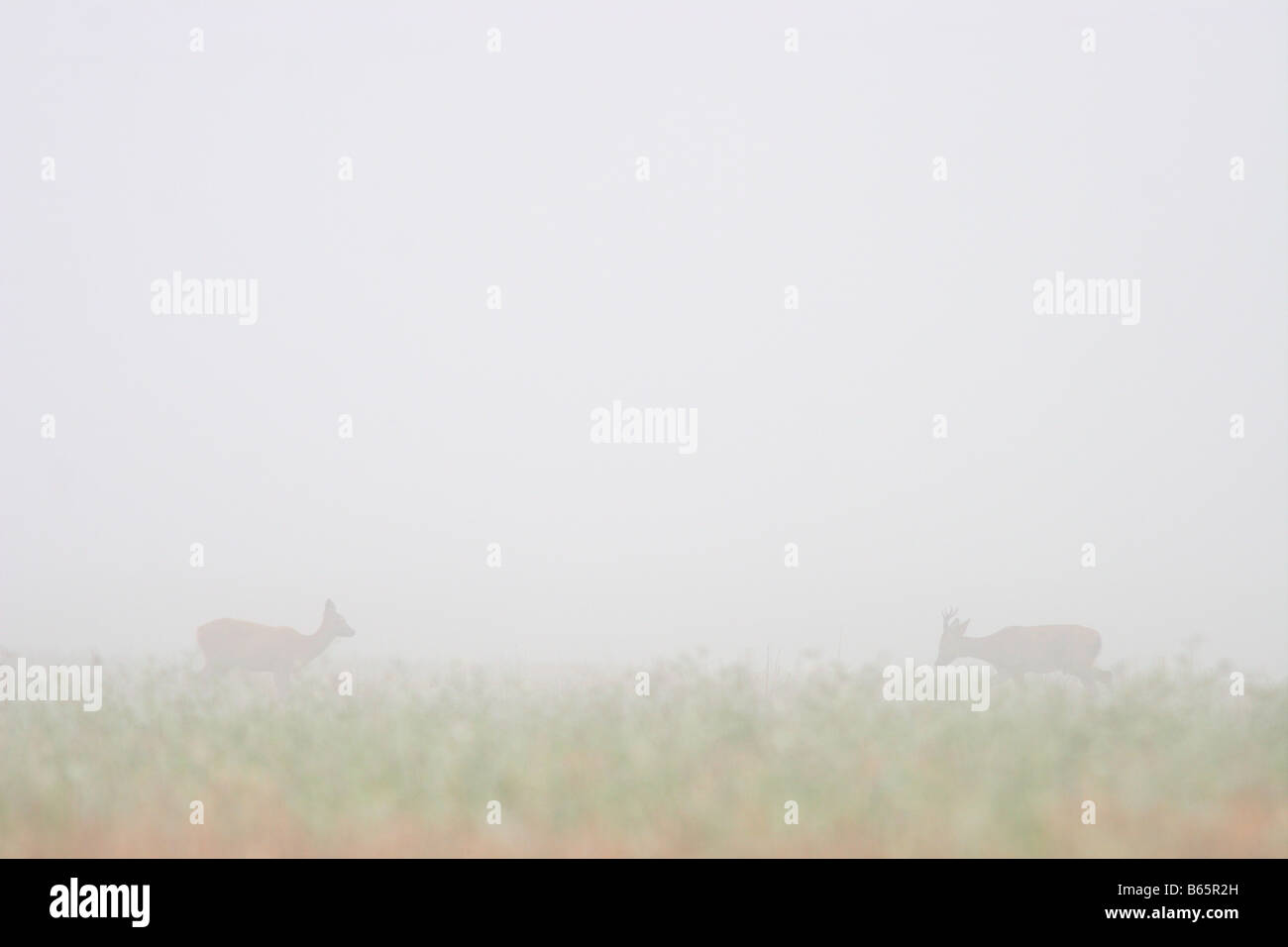 Romantic meeting by couple of roe deers (Capreolus capreolus) in early morning mist. - Stock Image