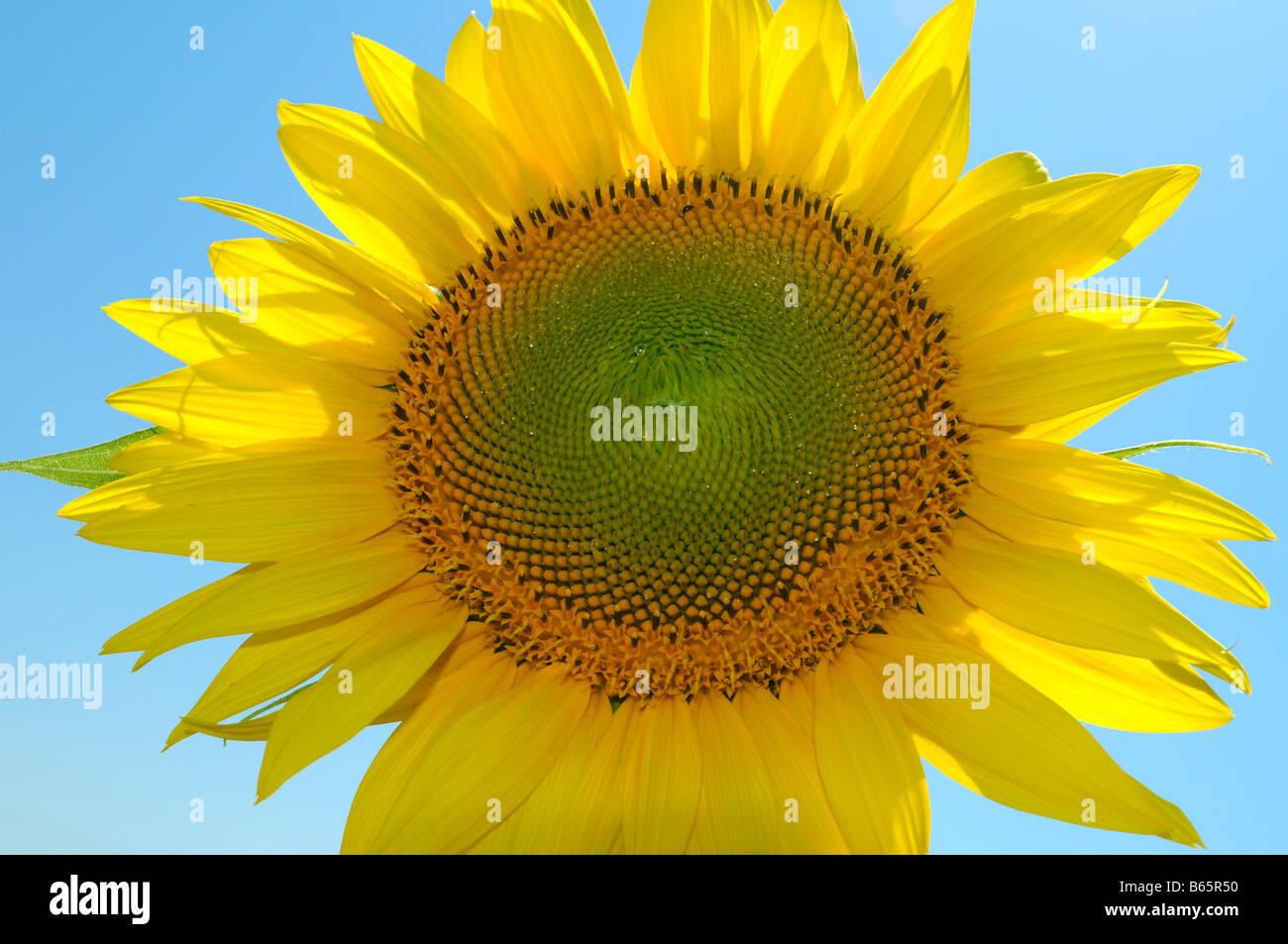 Sunflower against blue sky. - Stock Image