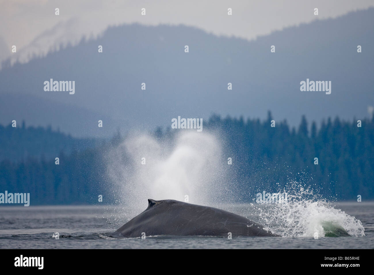 USA Alaska Tongass National Forest Humpback Whale Megaptera novaengliae breathing on ocean surface in Frederick - Stock Image