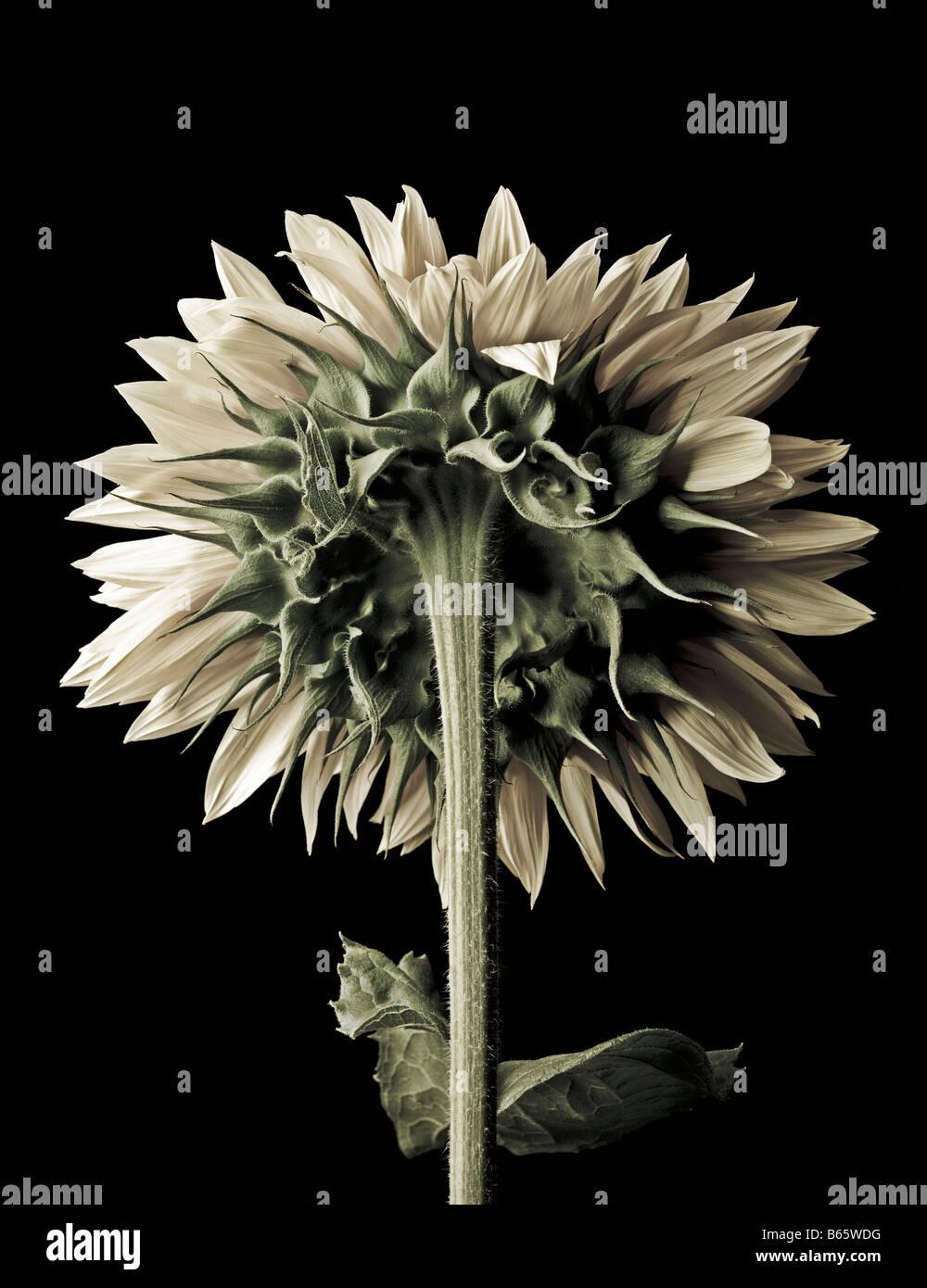 still life of sunflower Helianthus annus family Compositae - Stock Image