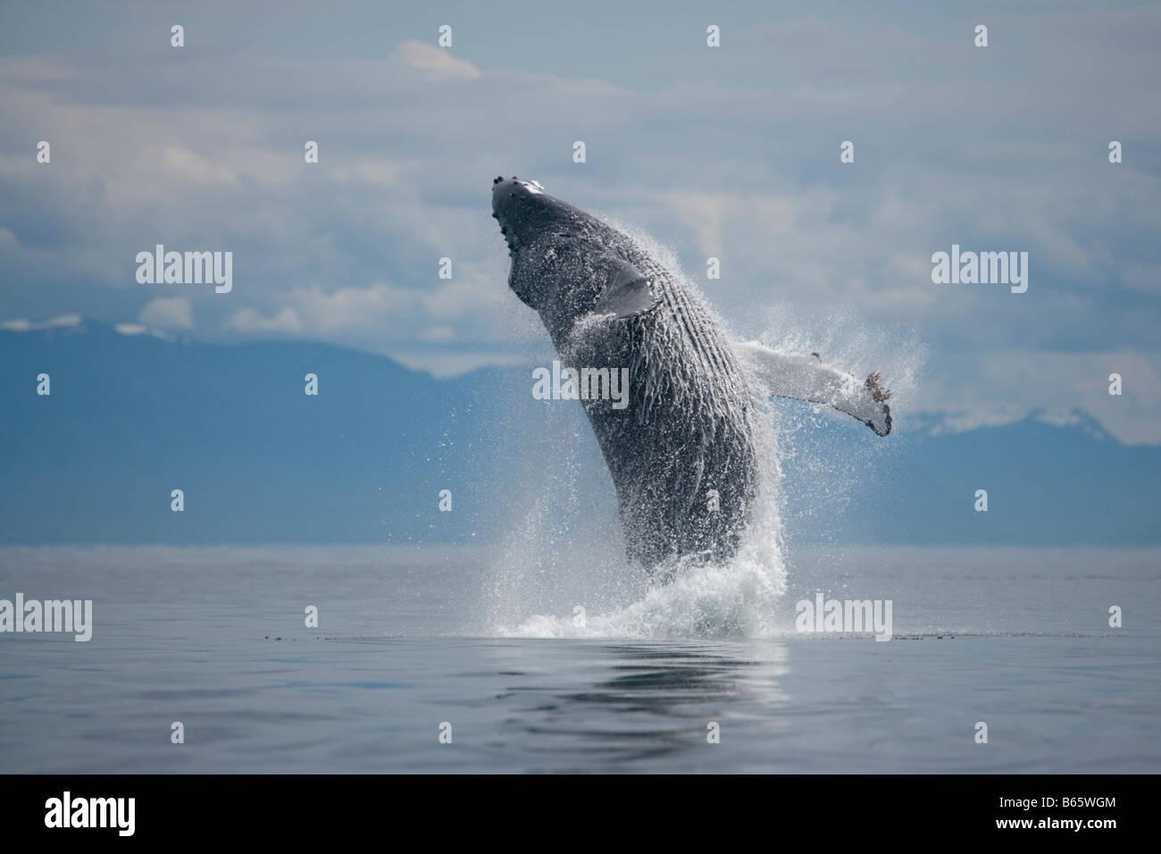 USA Alaska Tongass National Forest Humpback Whale Megaptera novaengliae breaching in Frederick Sound - Stock Image