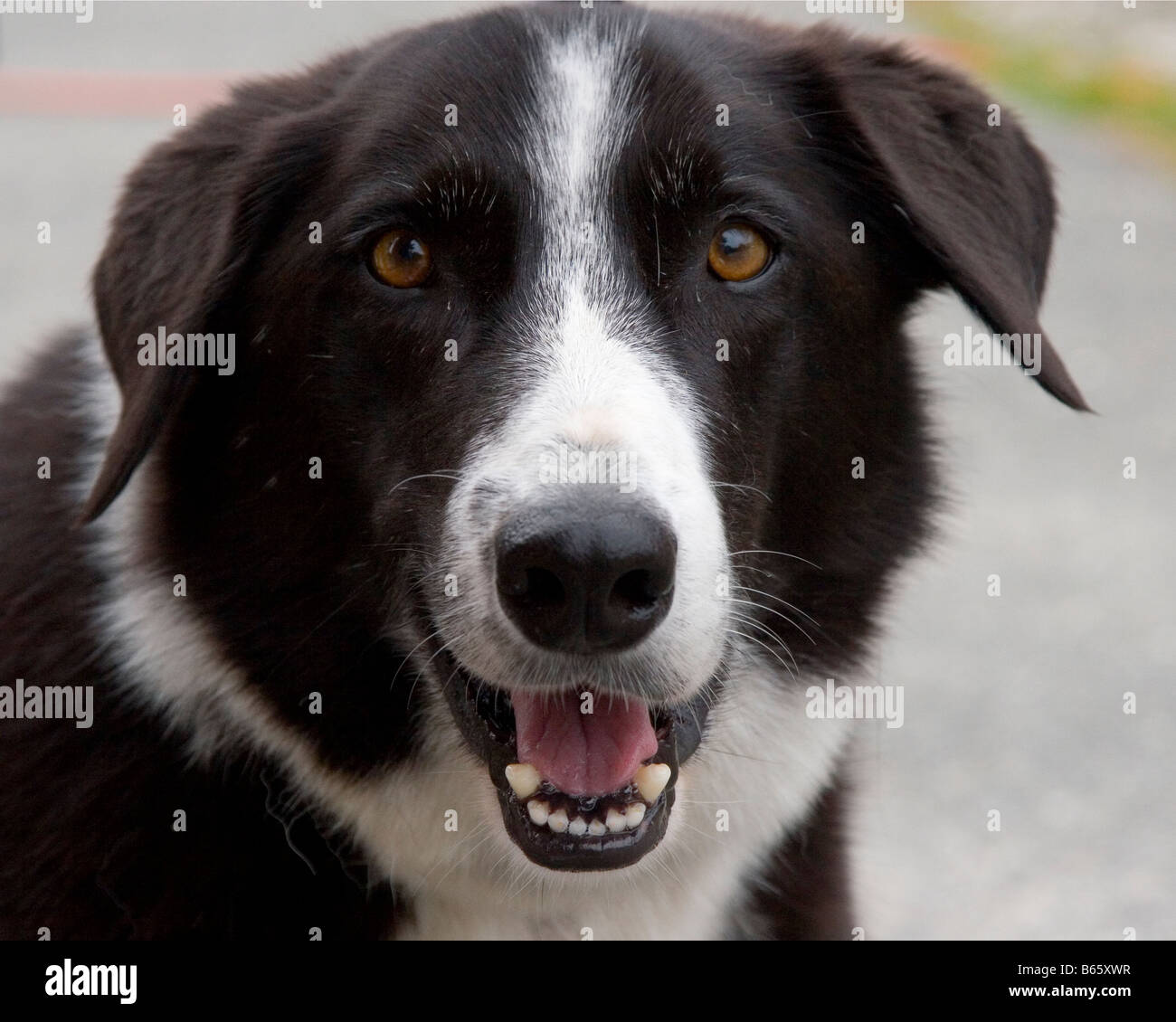 Happy dog Border Collie dog smiling at the camera. - Stock Image