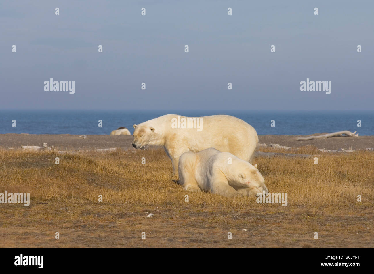 polar bear Ursus maritimus large adult males rest together on Bernard Spit as they wait for fall freeze up - Stock Image