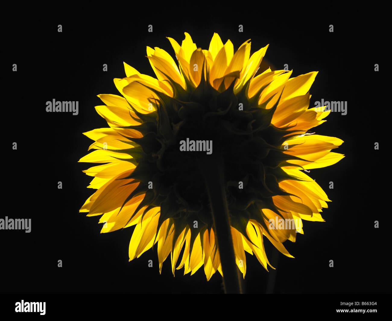 sunflower backlight in a studio setting - Stock Image