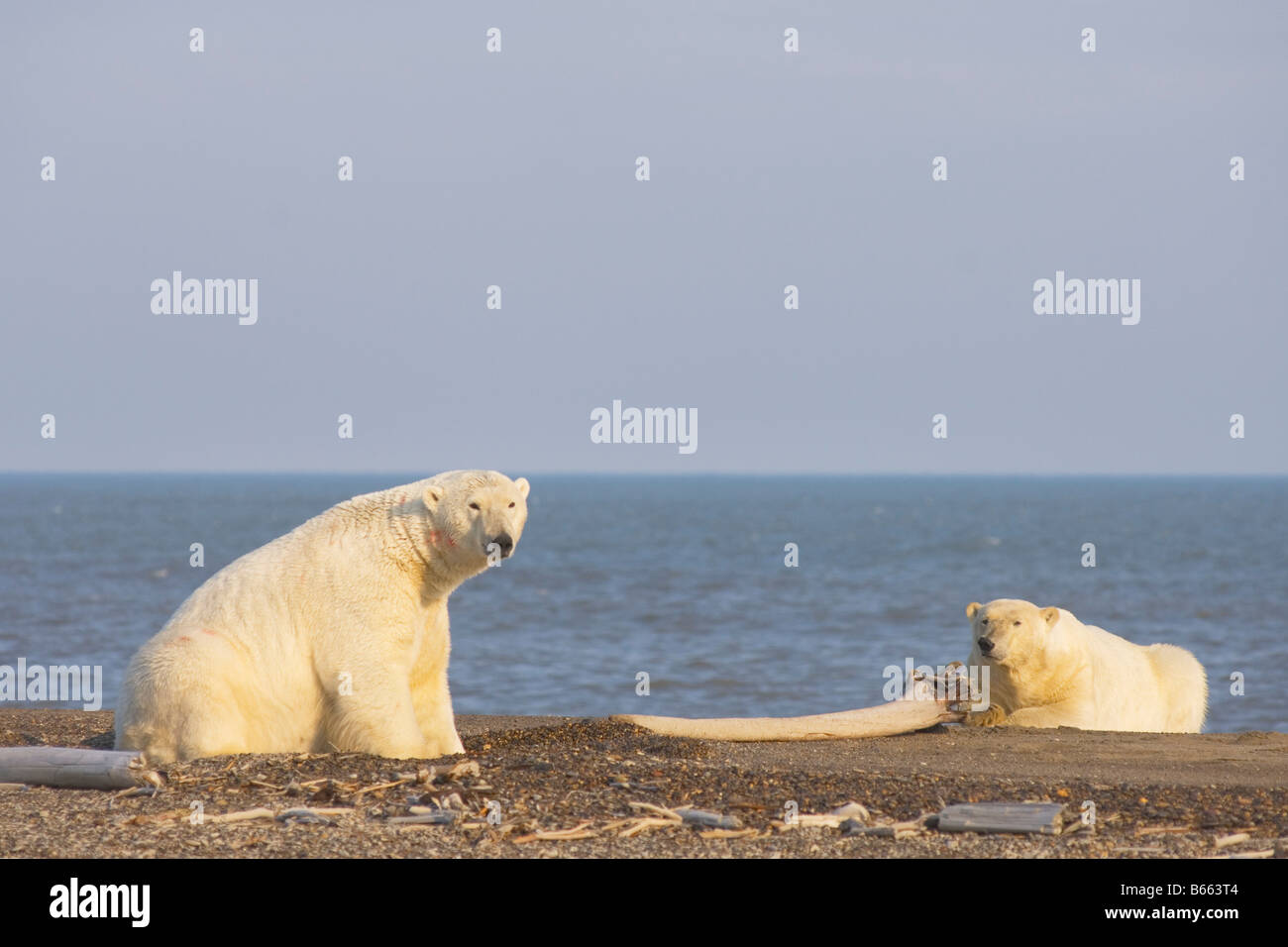 polar bear Ursus maritimus two large boars hang out with one another on Bernard Spit - Stock Image