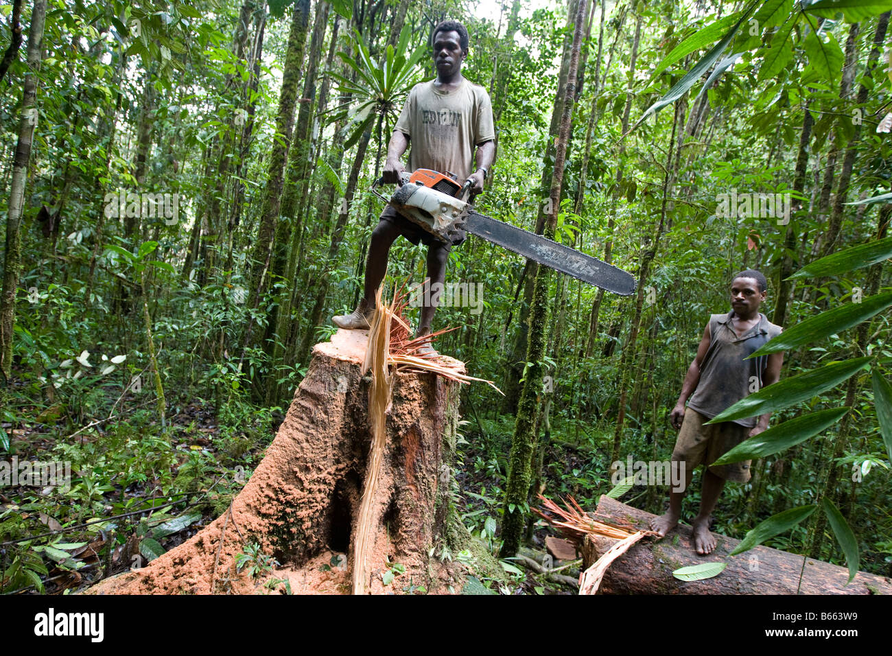 Sustainable Houses Loggers Cut Down A Tree Near Morere In The Turama