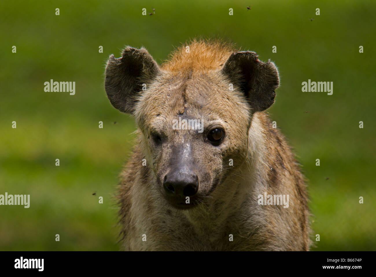 hyena savage animal Uganda africa - Stock Image