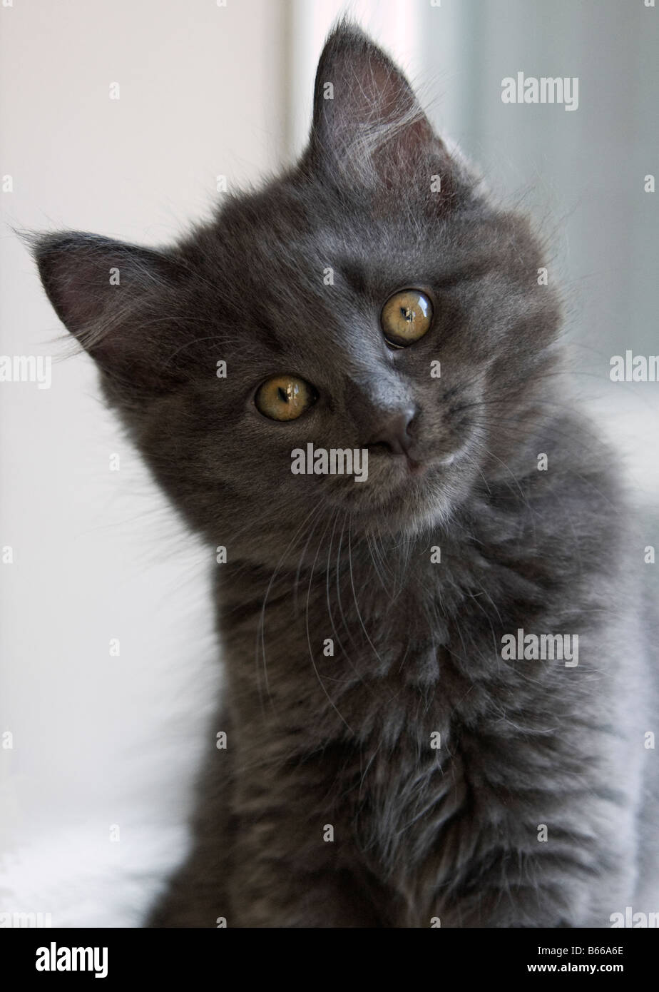Portrait of grey kitten with head tilted to the side in curiosity - Stock Image
