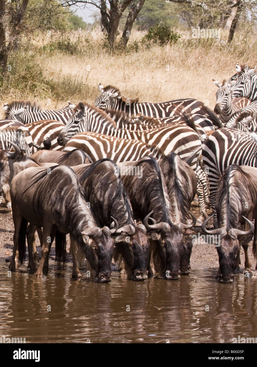 zebra and water buffalo drinking from a watering hole in the serengeti - Stock Image