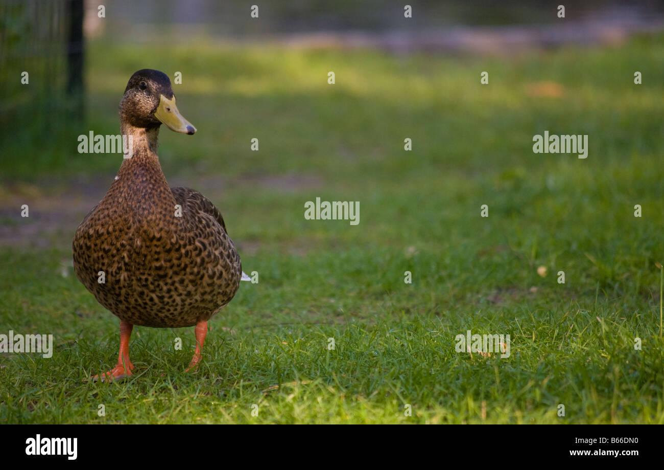A brown duck in the Boston Public Gardens - Stock Image