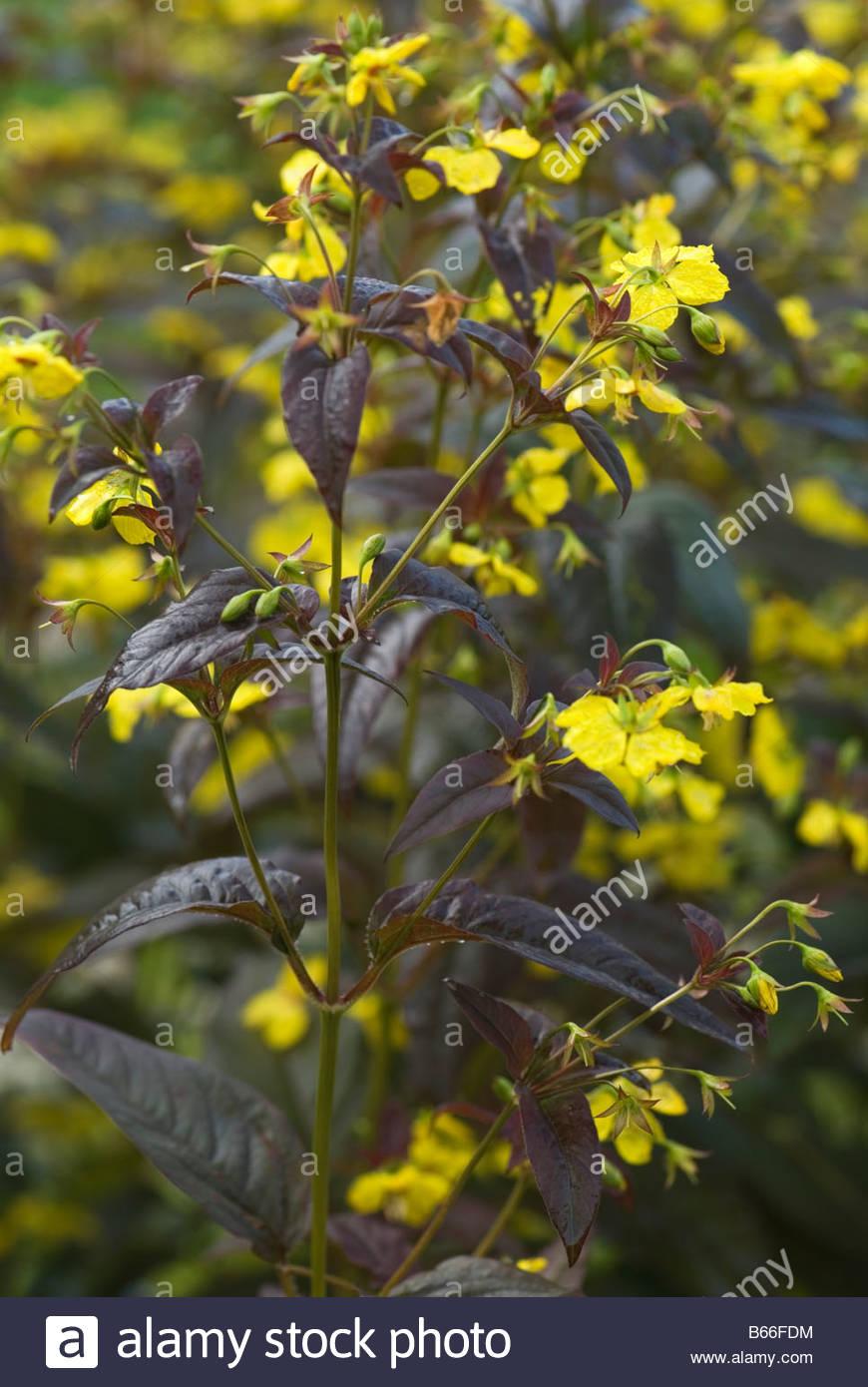 Deep Purple Brown Foliage And Small Yellow Flowers Of Lysimachia