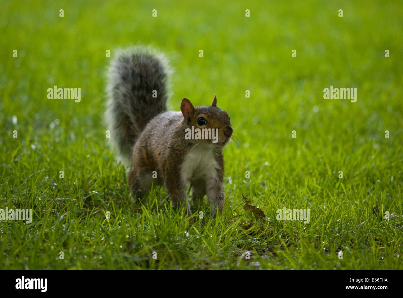 A squirrel in the Boston Public Gardens - Stock Image