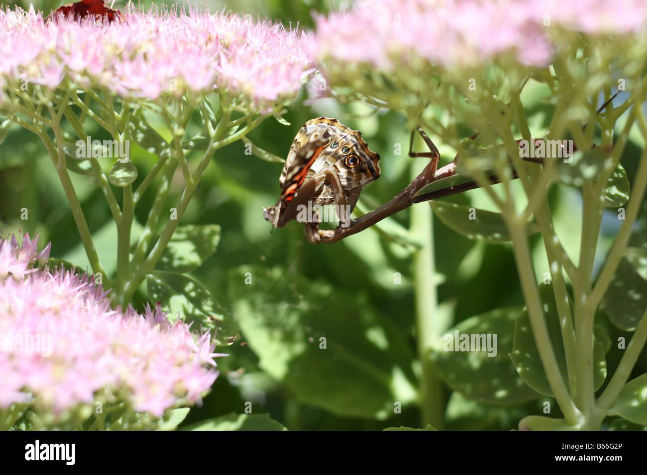 Preying mantis feeding. - Stock Image