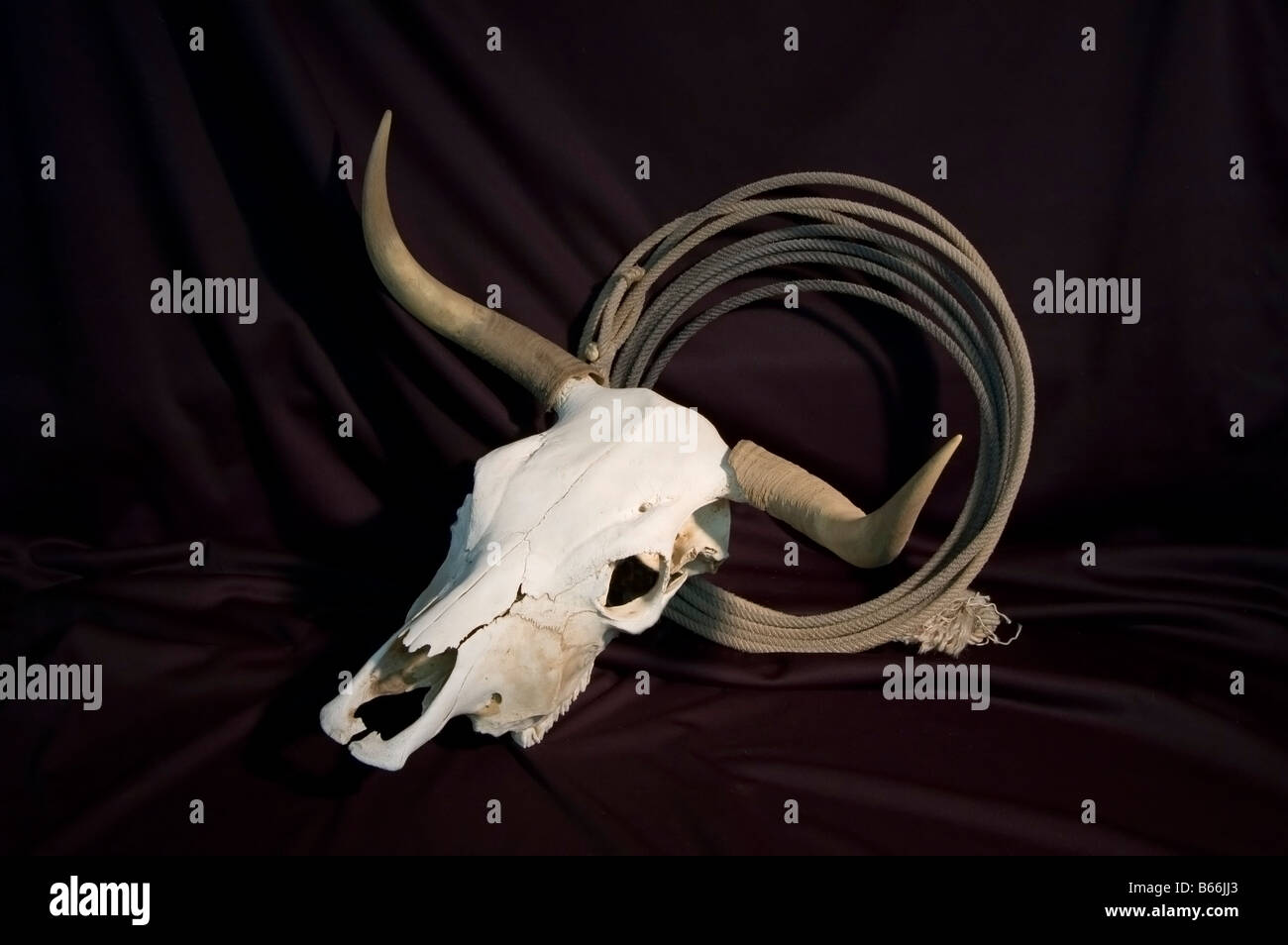 A bleached steer skull with horns and a coil of rope on a black background - Stock Image