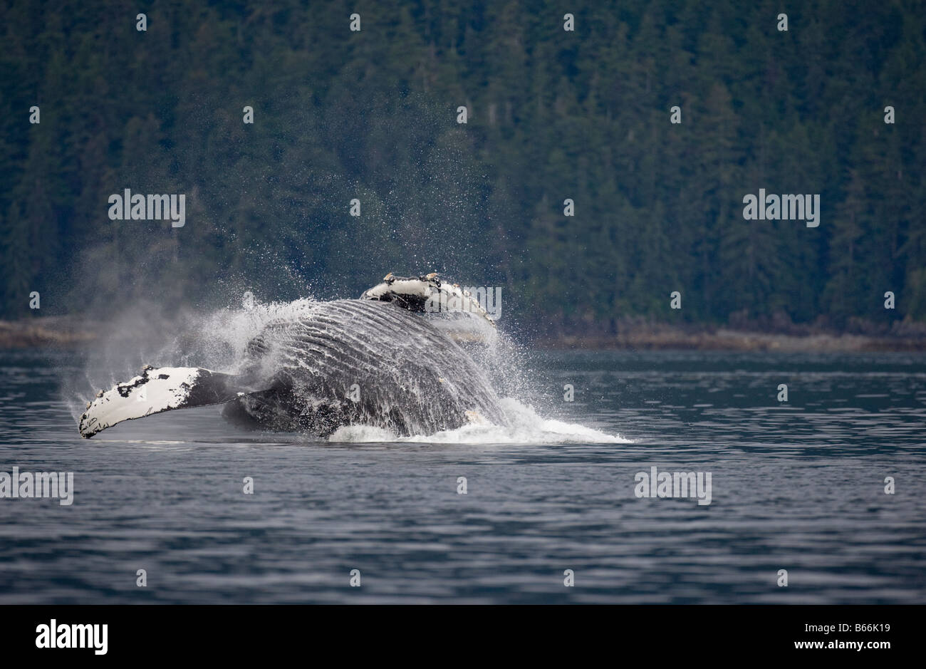 USA Alaska Angoon Humpback Whale Megaptera novaengliae breaching in Frederick Sound on summer morning Stock Photo