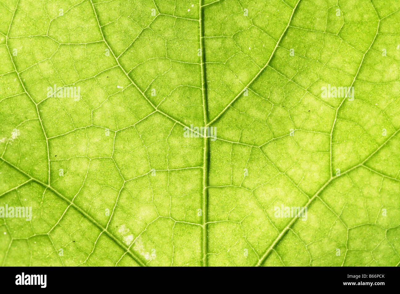 Green leaf veins - Stock Image