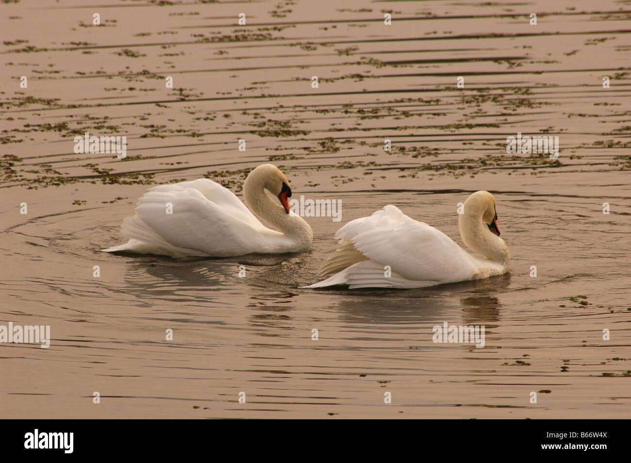 courting swan white lake dusk birds mate males - Stock Image