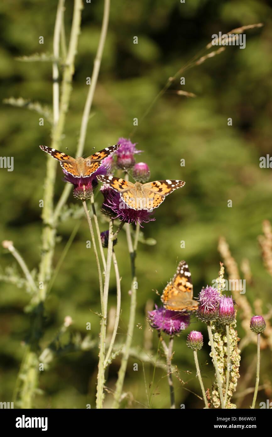 Three Painted Lady Butterflies feeding Vanessa cardui - Stock Image