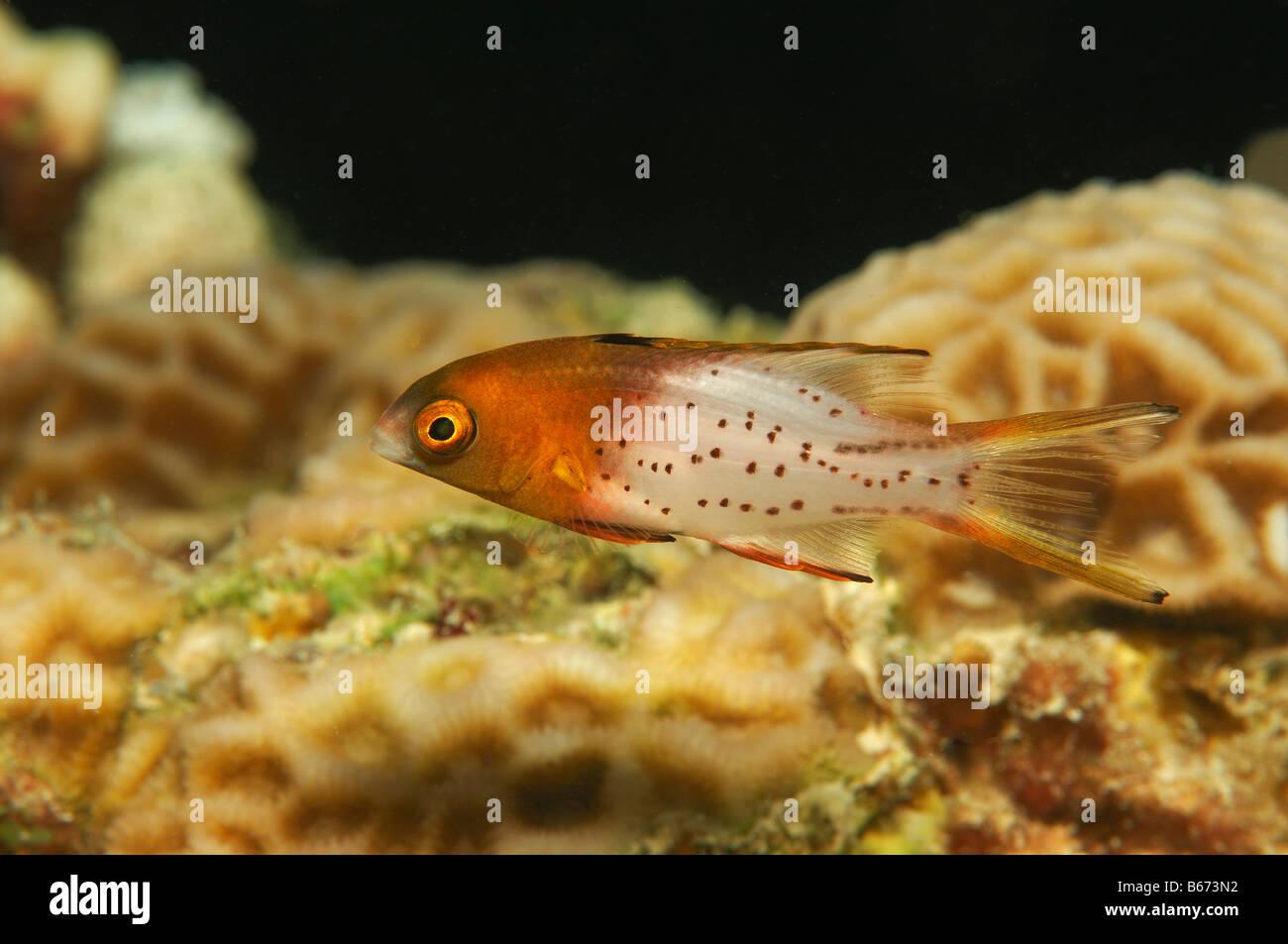 Lyretail Hogfisch Bodianus anthioides Marsa Alam Red Sea Egypt - Stock Image