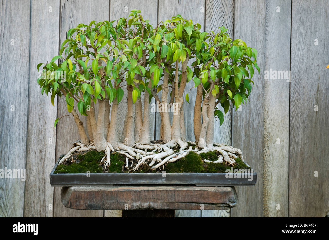 weeping fig forest ficus benjamina grown as bonsai 22 trees at stock photo 21055126 alamy. Black Bedroom Furniture Sets. Home Design Ideas