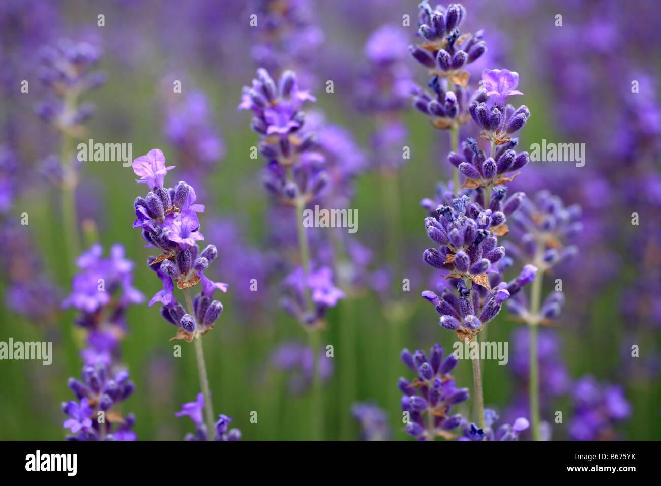 Lavender 'Lavandula angustifolia' purple lilac flower heads, Mediterranean shrub - Stock Image