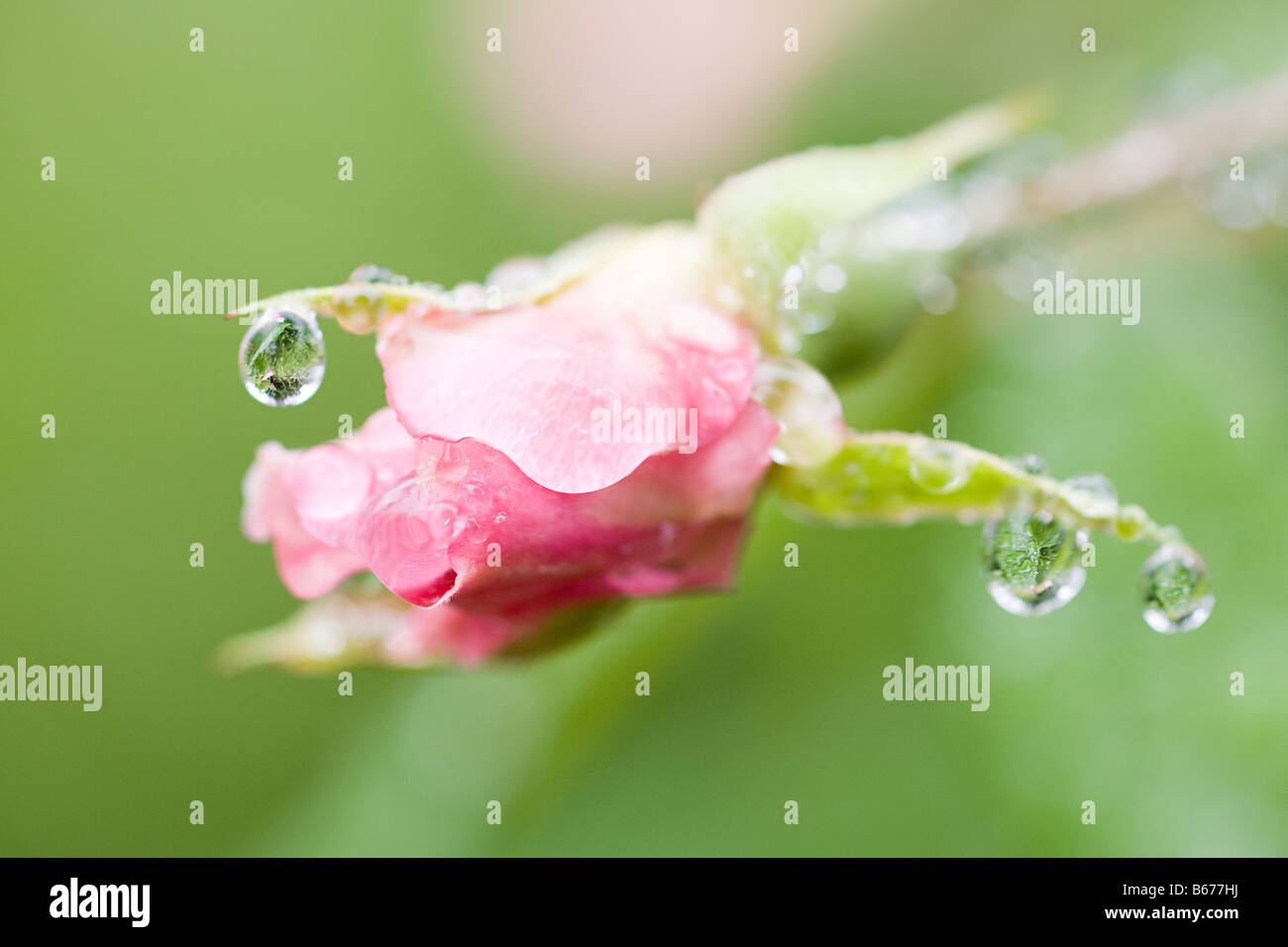 Dew on a flower - Stock Image