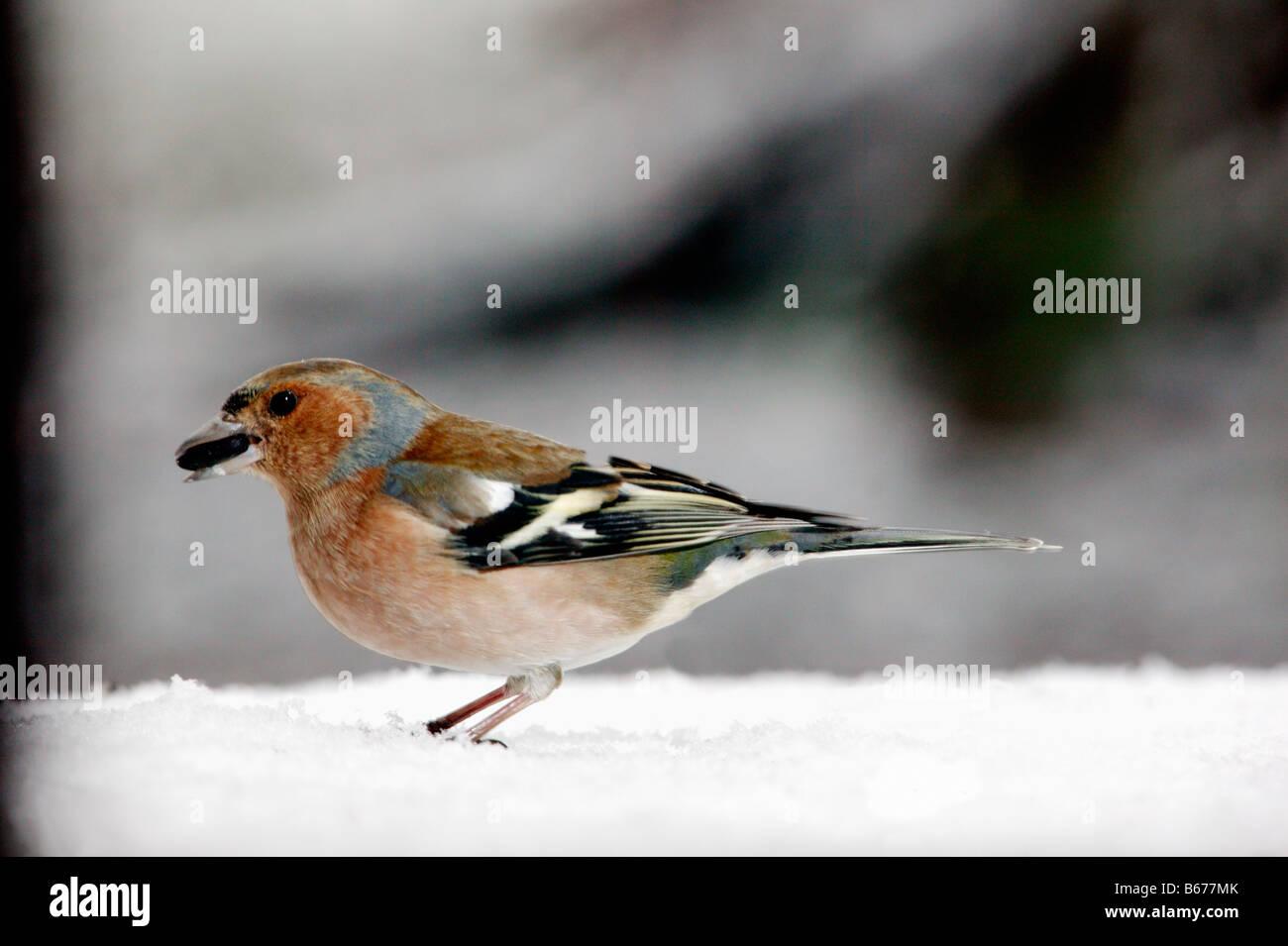 pinson des arbres Chaffinch Fringilla coelebs at feed place winter feeding bird feeding males Adult Adults Alone - Stock Image