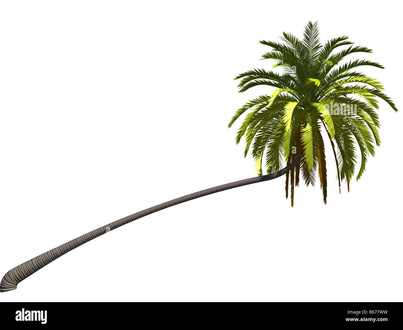 a palmtree isolated on white background - Stock Image