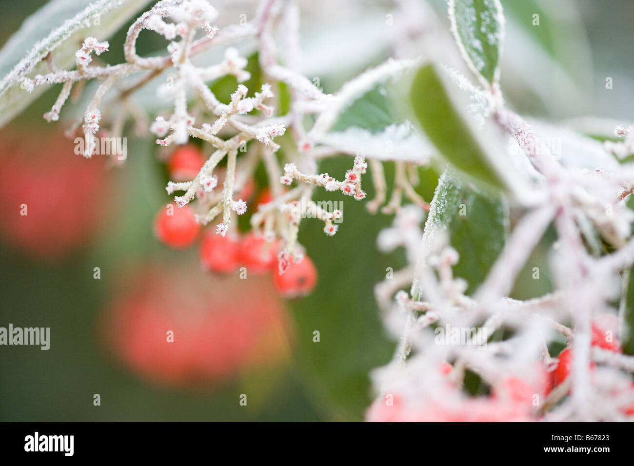 Frost covered berries - Stock Image