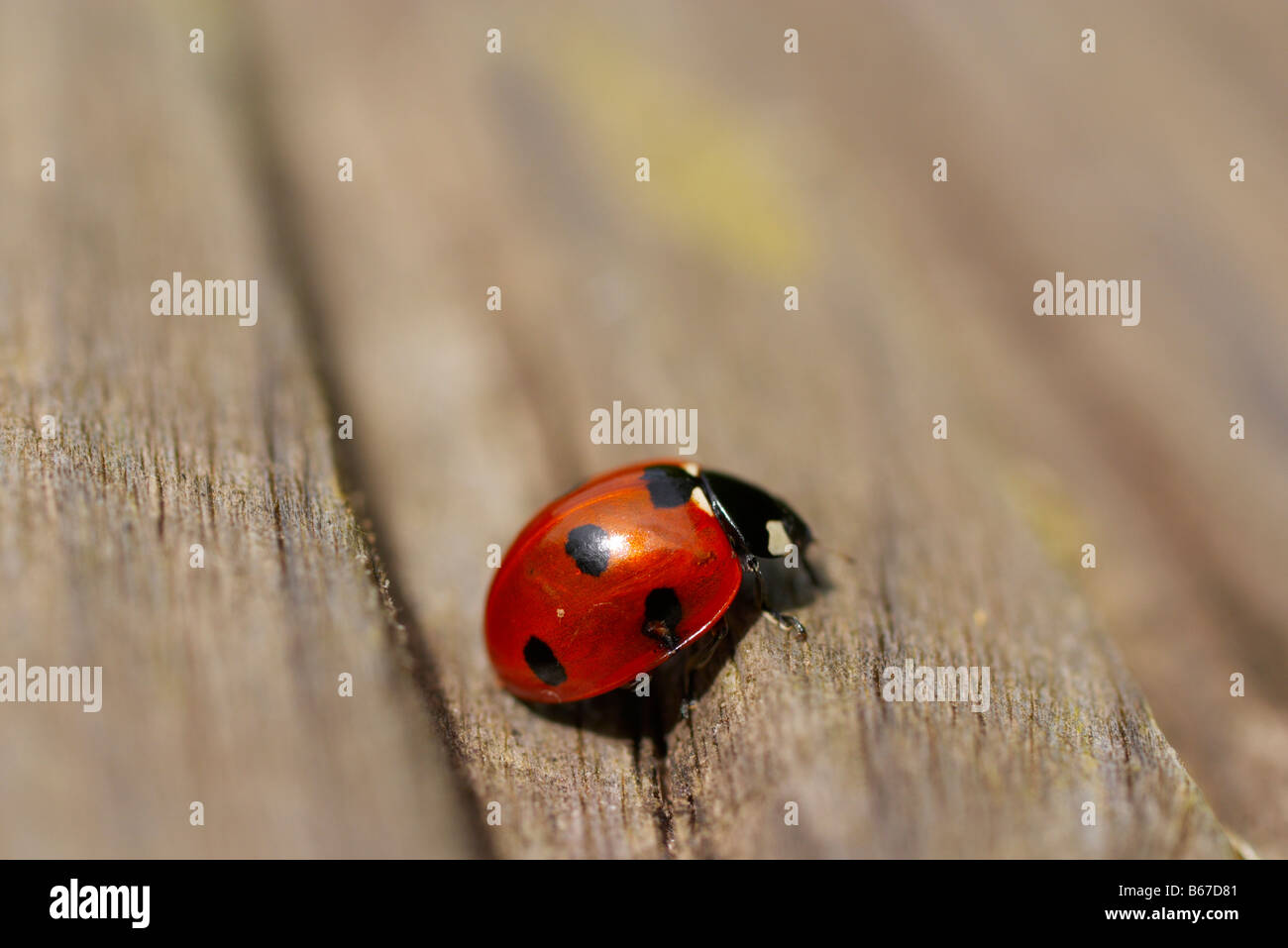 Macro photograph of a laybird from the side on wooden garden decking - Stock Image