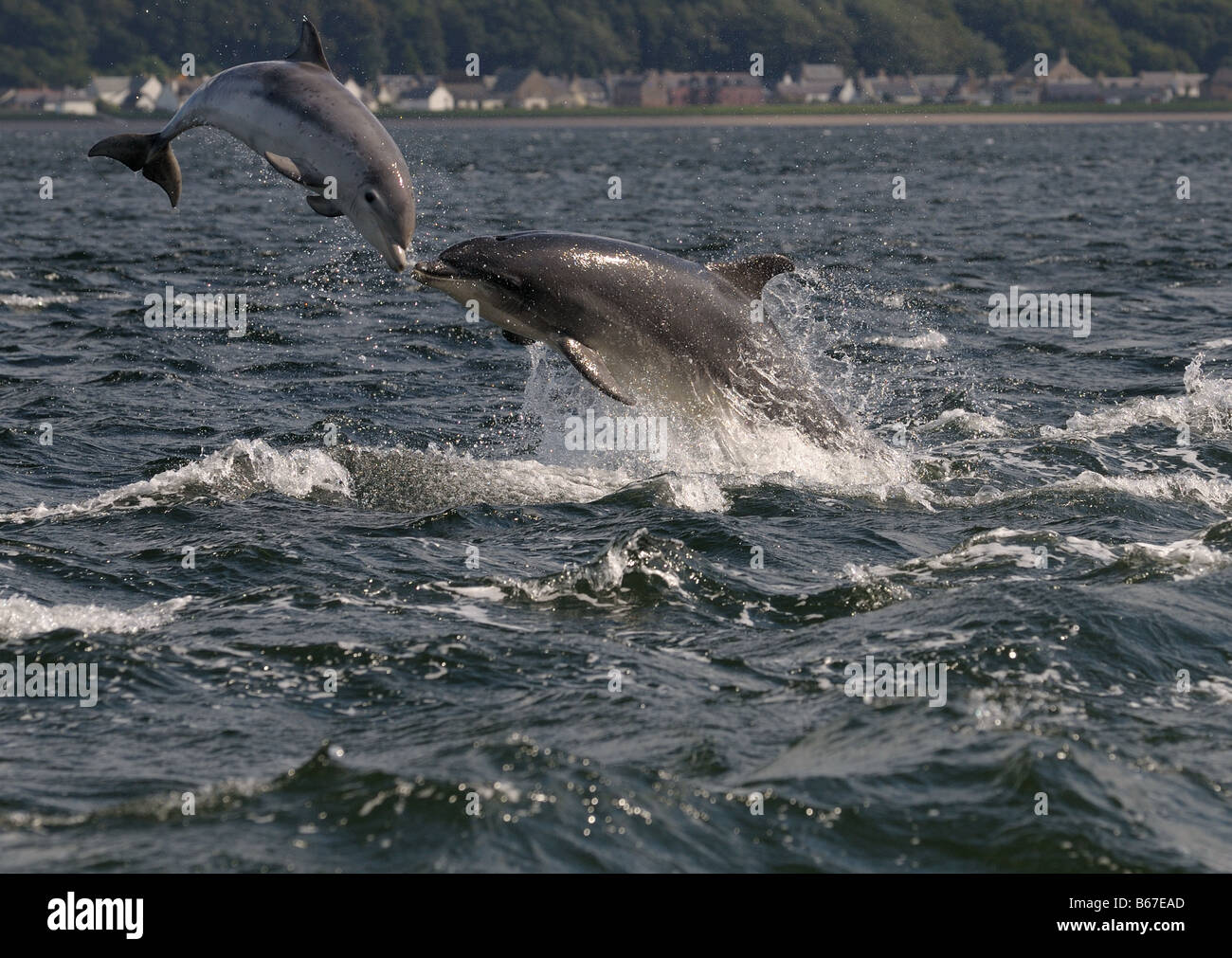 The Kiss of a female Bottlenose Dolphin with her calf at Chanonry Point. Watching Dolphins at Chanonry Point. - Stock Image