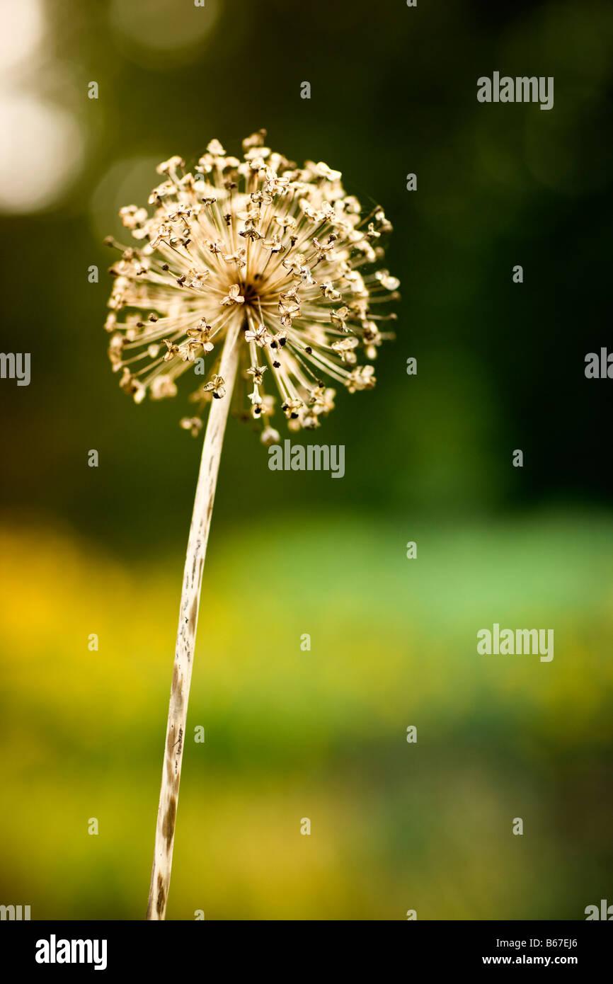 Seedhead, Allium Mont Blanc - Stock Image