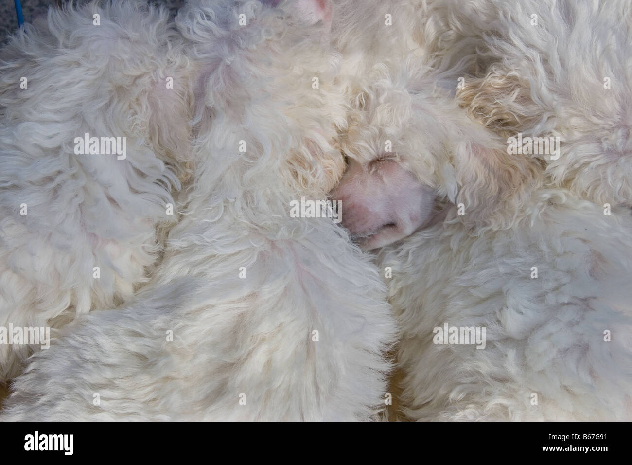 Snoozing Poodles - Stock Image