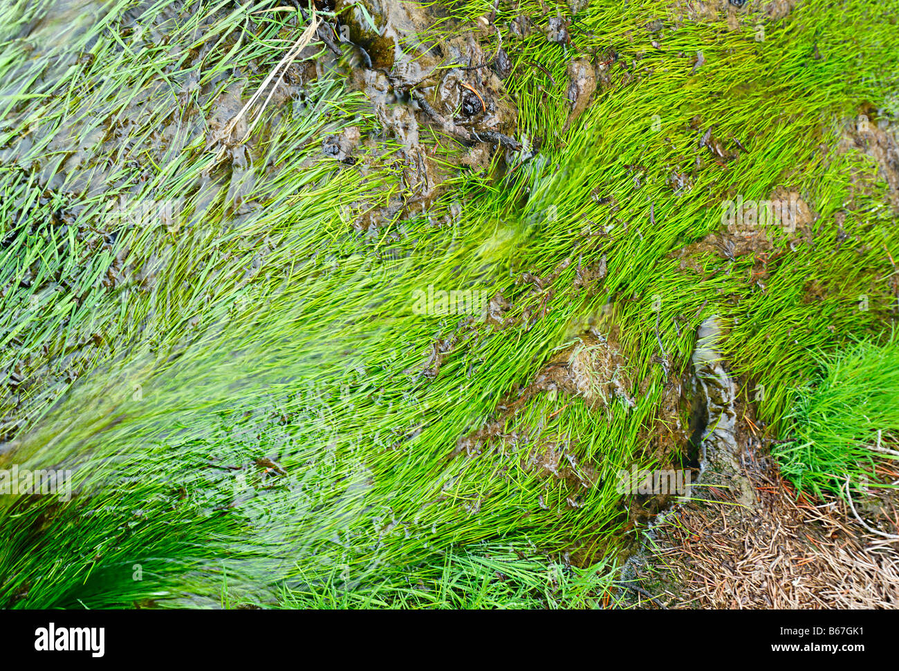 Closeup of geyser Runoff with bright green grass - Stock Image