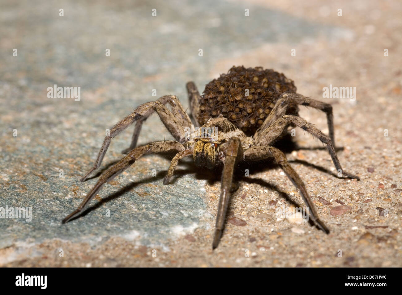 Female Wolf Spider Lycosa narbonensis carrying hundreds of spiderlings on her back Peloponnese Greece - Stock Image
