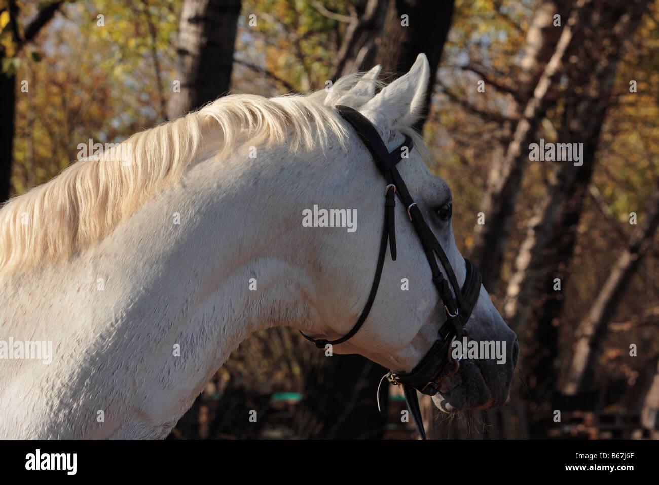 Arabian Horse (Equus caballus), portrait of stallion - Stock Image