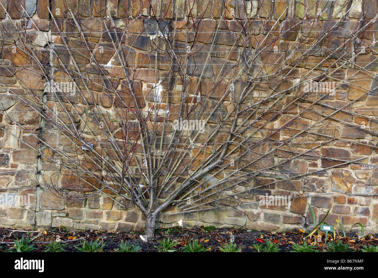 FAN TRAINED FRUIT TREES AT RHS ROSEMOOR GARDEN DEVON PEACH PEREGRINE ON ST JULIEN A PHOTOGRAPHED WITH RHS PERMIT - Stock Image
