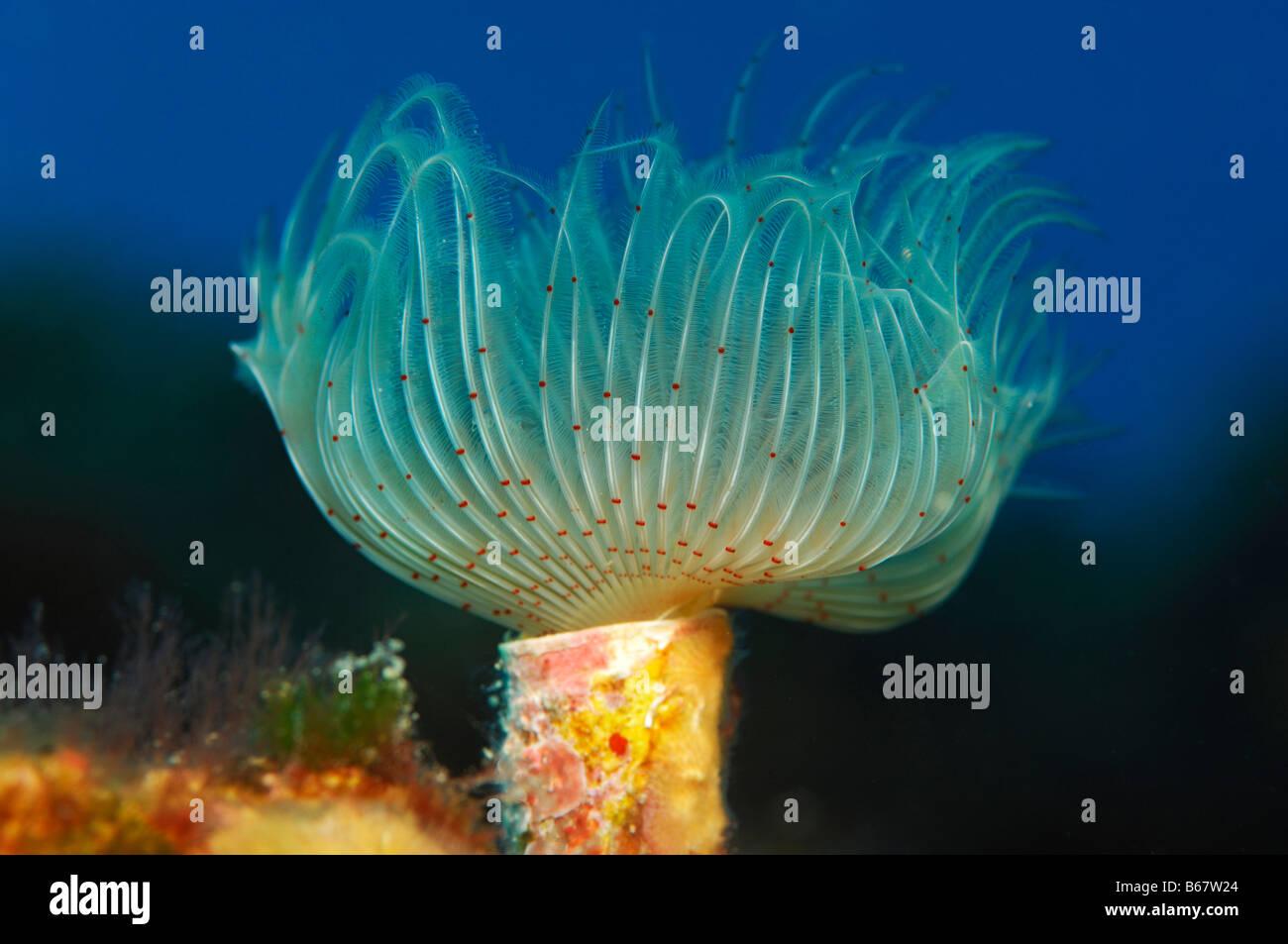 Fan Worm Vis Island Mediterranean Sea Croatia Stock Photo