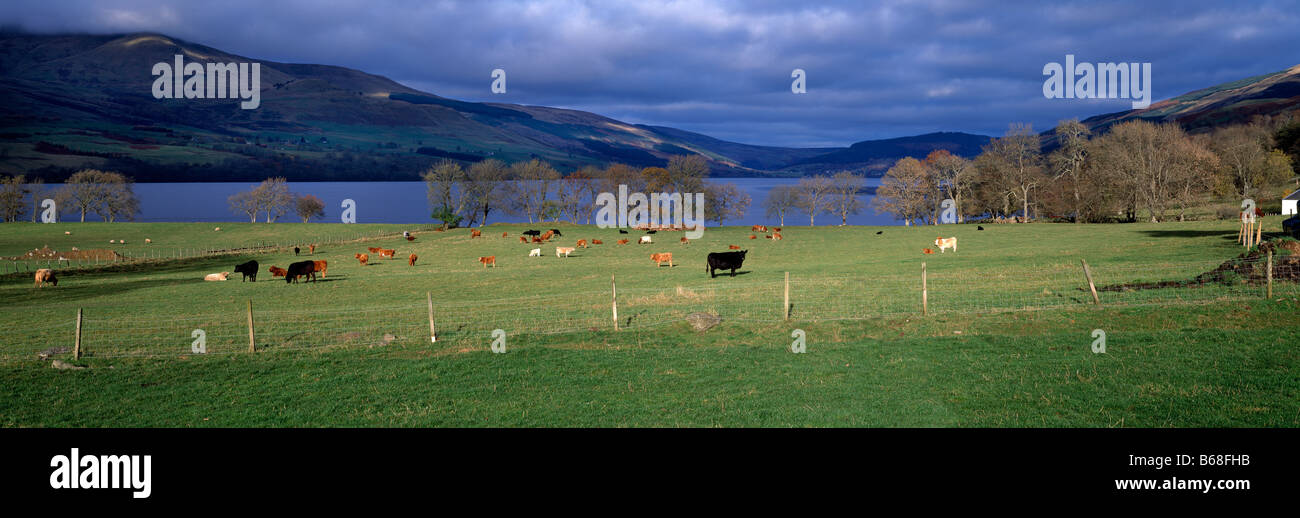 Panoramic Autumn landscape over Loch Tay, Tayside, Perthshire, Scotland showing cattle grazing in fields in foreground. Stock Photo