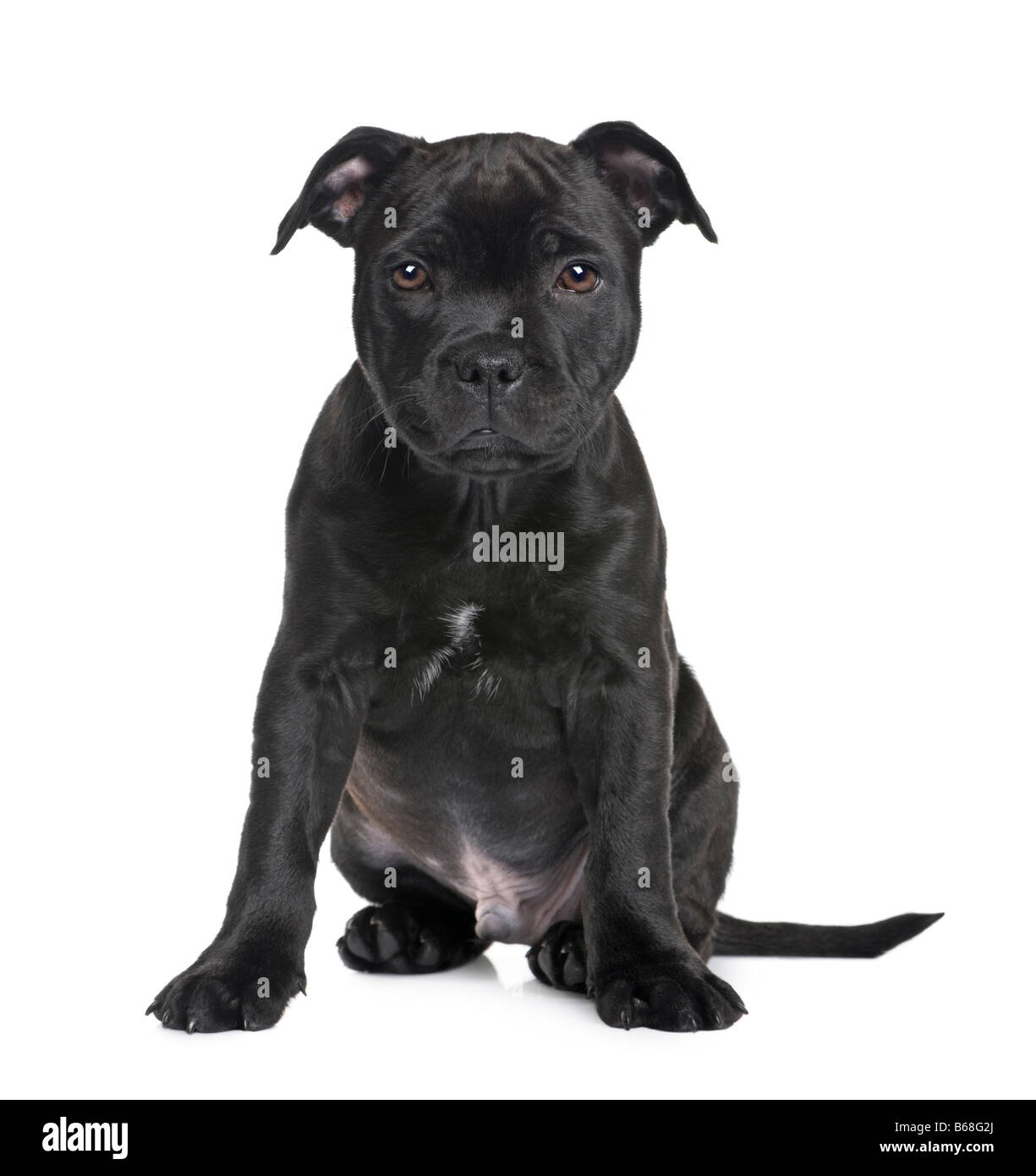 puppy Staffordshire Bull Terrier 2 months in front of a white background - Stock Image