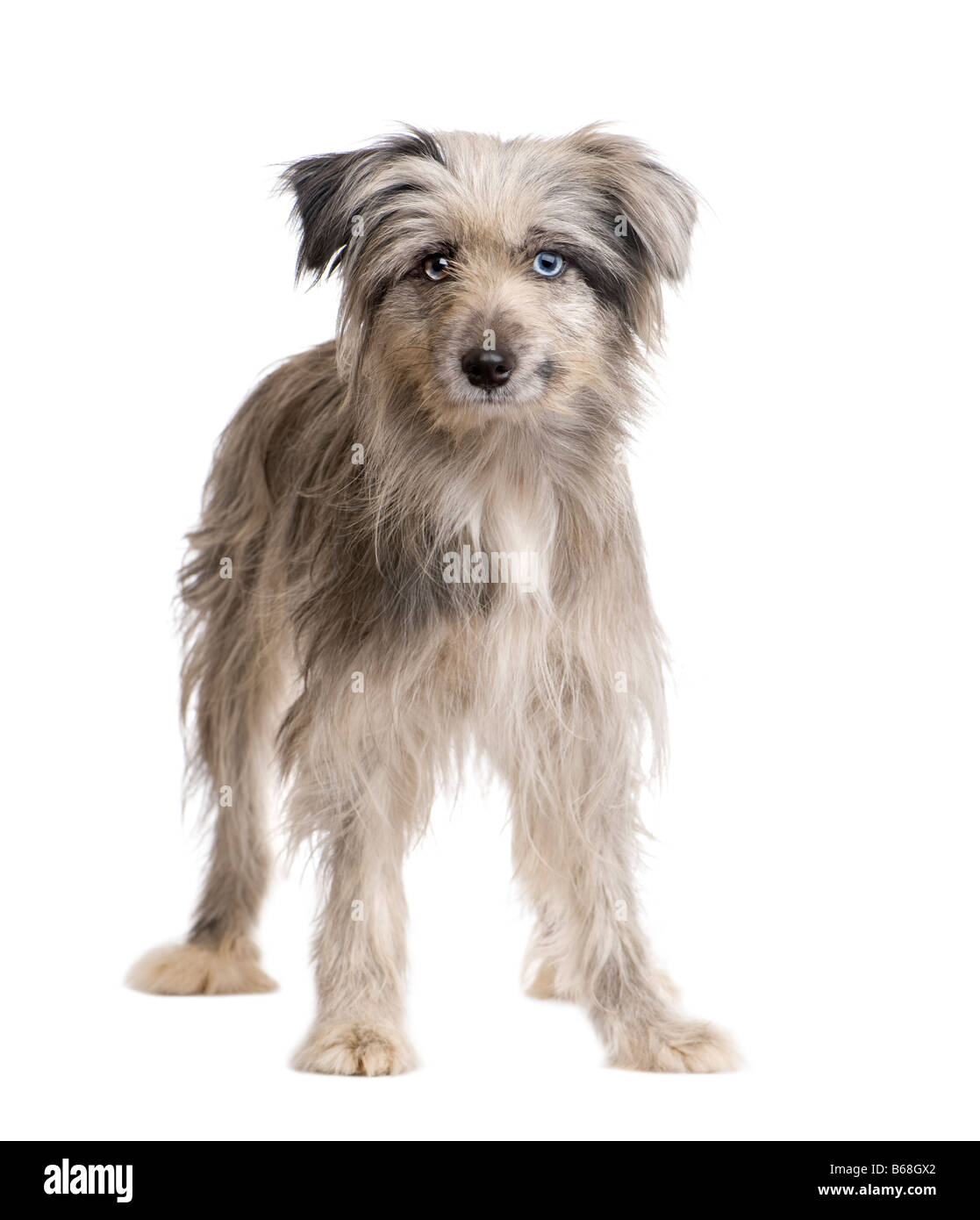 Pyrenean Shepherd 1 year in front of a white background - Stock Image