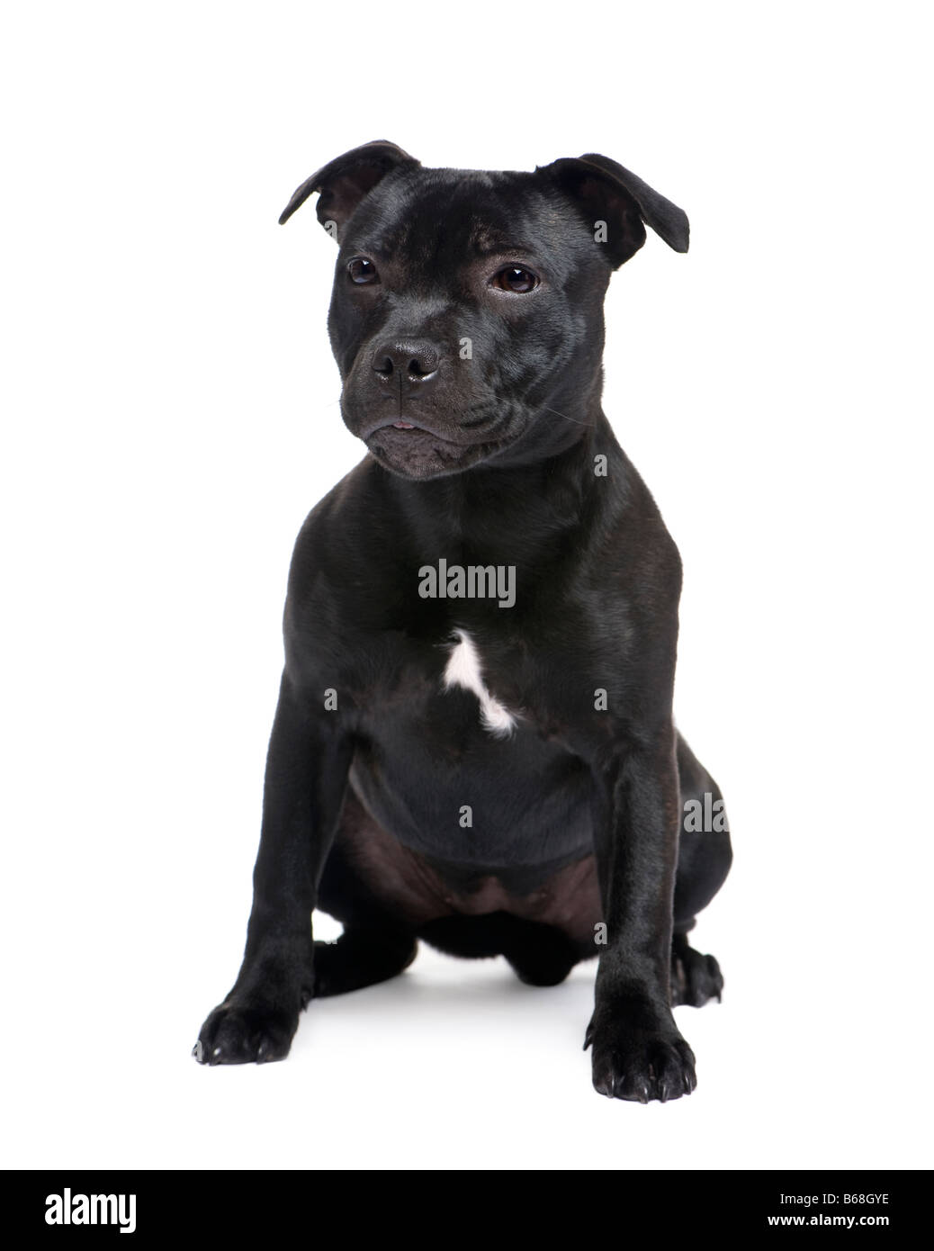 Staffordshire Bull Terrier in front of a white background - Stock Image
