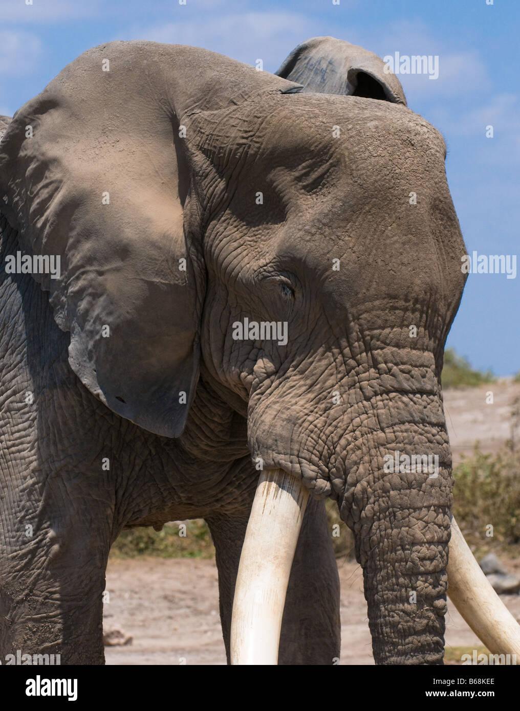 old elephant amboseli national park kenya - Stock Image