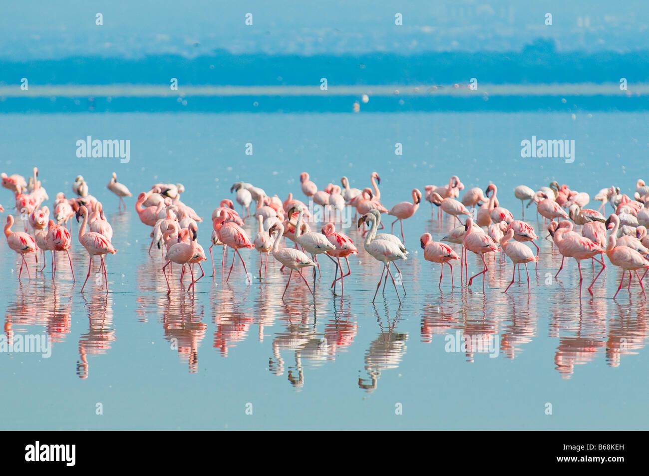 flocks of flamingo lake nakuru kenya - Stock Image