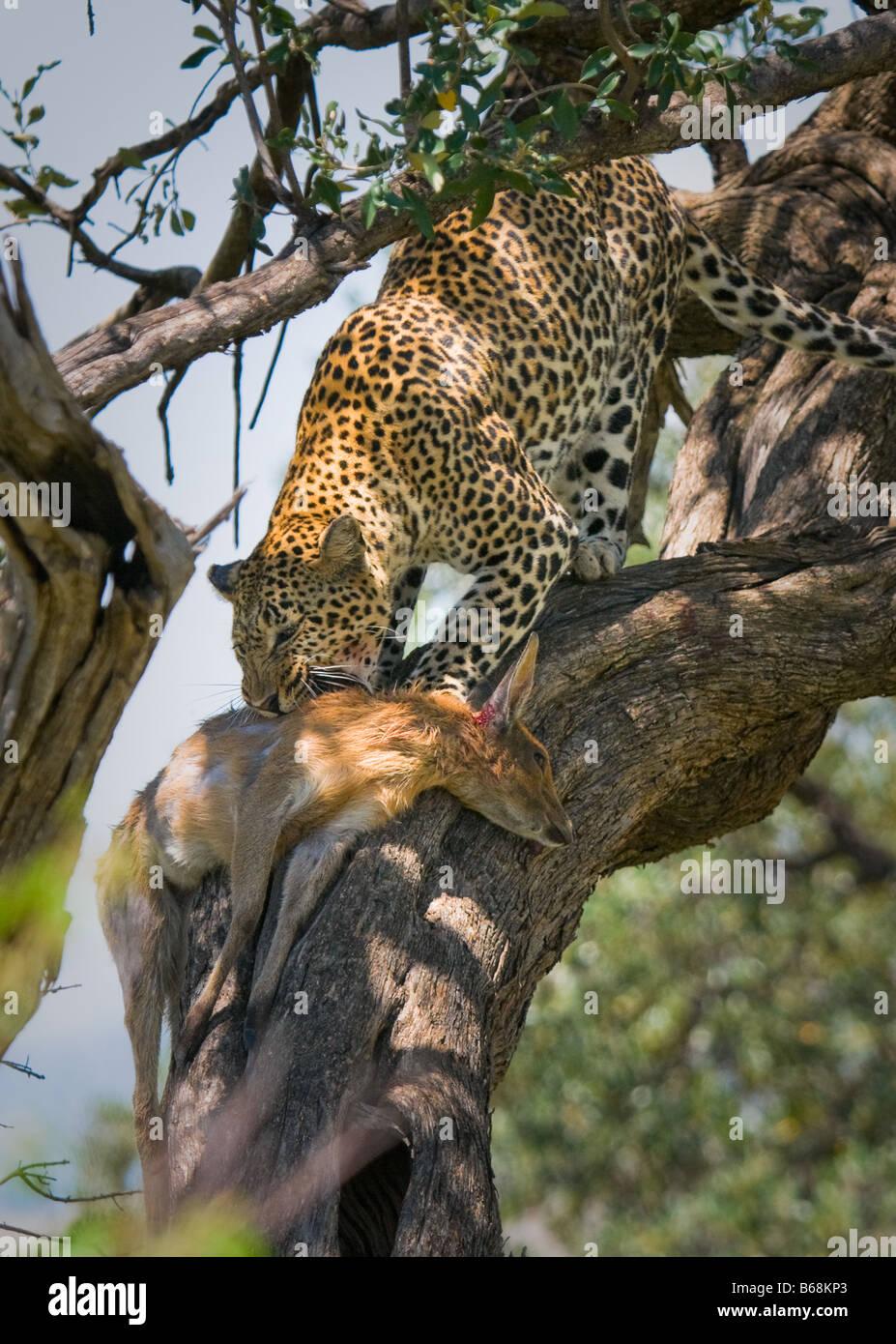 leopard eating impala masai mara kenya - Stock Image