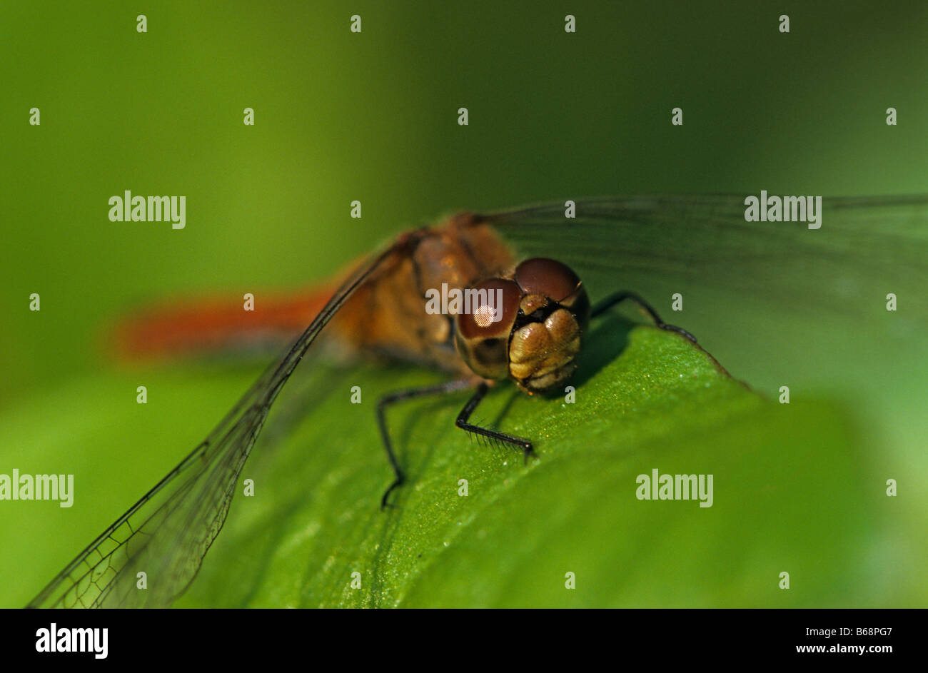 Dragonfly Ruddy Darter - Stock Image