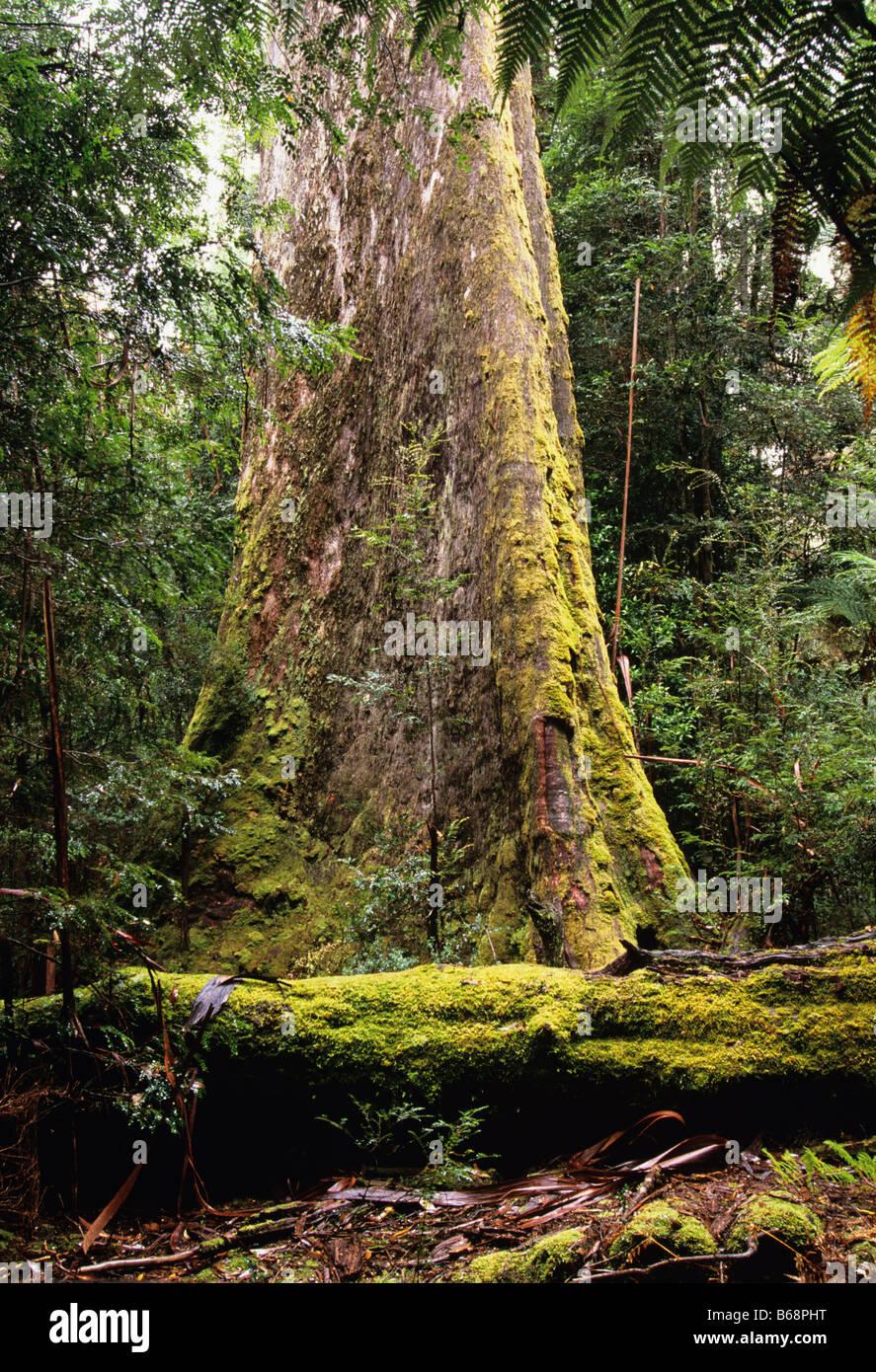 Swamp Gum Eucalyptus regnans Photographed in Styx Valley Tasmania, Australia - Stock Image
