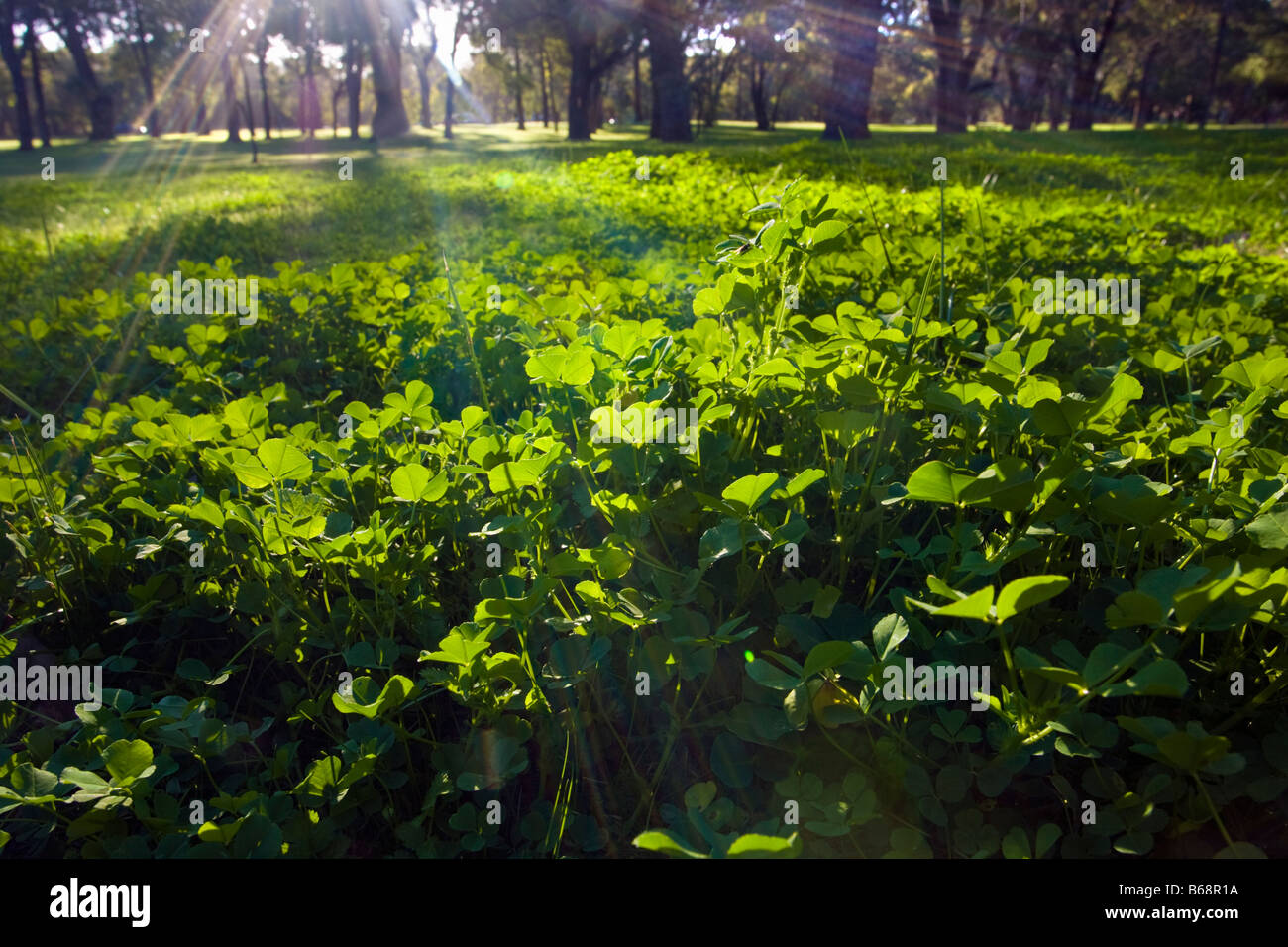 Light shining down on a clovers illustrating life and growing, - Stock Image