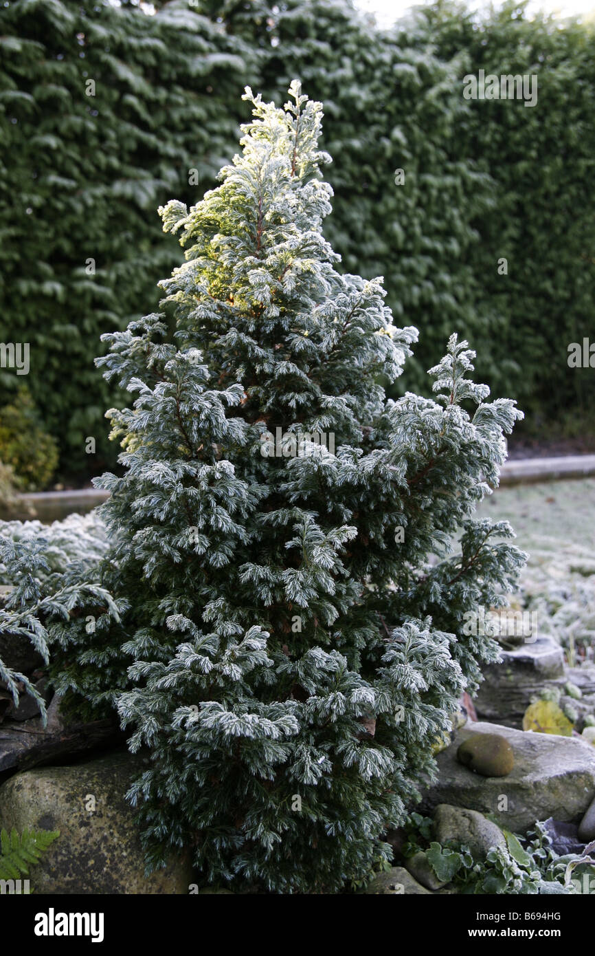 Dwarf fir tree covered in frost - Stock Image
